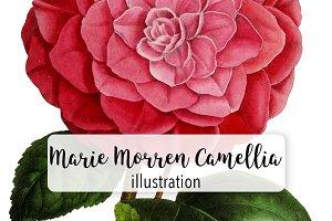 Florals: Marie Morren Camellia