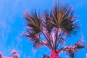 pink palm and blue sky.