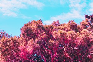 pink crowns of the trees