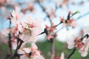 Almonds blossoms.