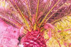 pink part of palm trees