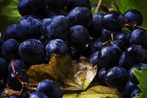 Blue wine grapes with vine and green