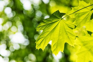 Green maple leaves, summer natural b