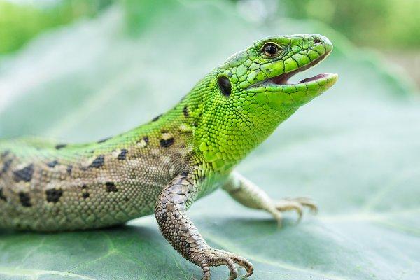 Animal Stock Photos: AlexBush - Green lizard in the grass