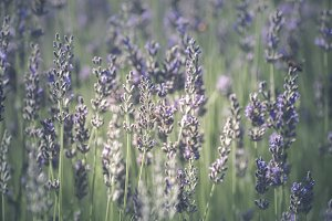 Lavender flowers with bees