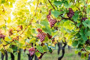 Ripe grapes in fall in Alsace, Franc