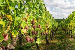 Ripe grapes in fall in Alsace, Franc