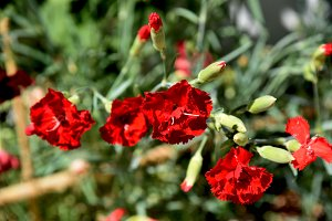 Red carnations at garden