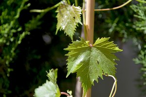 Vine growing with buds and branches