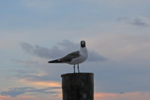 Seagull at Sunset.jpg