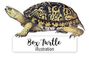 Turtles: North American Box