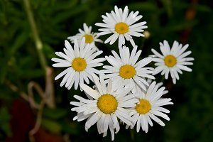 White daisies bunch at garden