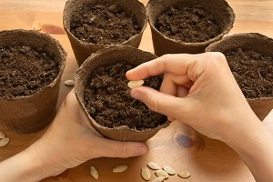 hands of gardener planting seeds in