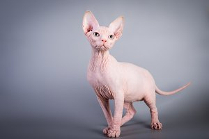 Sphynx Canadian hairless kitten on g
