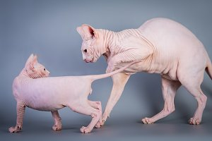 Sphynx Canadian hairless kitten with