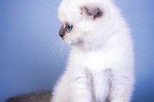 Cute scottish fold shorthair silver