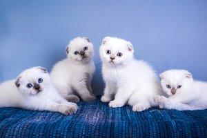 Four cute scottish fold shorthair si