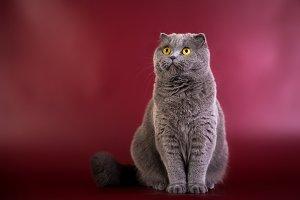 Portrait of British shorthair blue g
