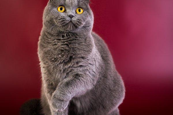 Portrait of British shorthair blue…
