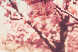 Soft Cherry Blossom, Japanese