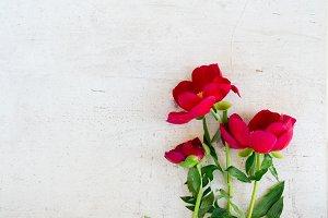 Fresh peony flowers