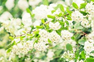 Blooming white bird-cherry, spring n