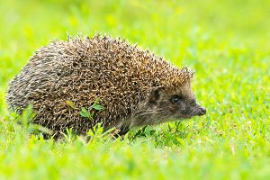 hedgehog on the grass