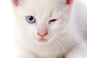 Beautiful cat with blue eyes winking