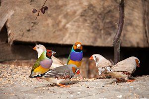 The Gouldian finch or Erythrura