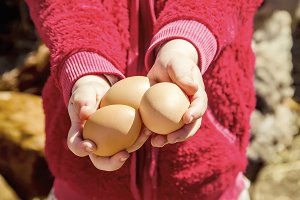 Chicken domestic eggs in hands.