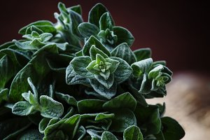Fresh green oregano or Origanum vulg