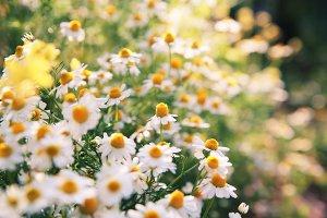 Daisy flowers.