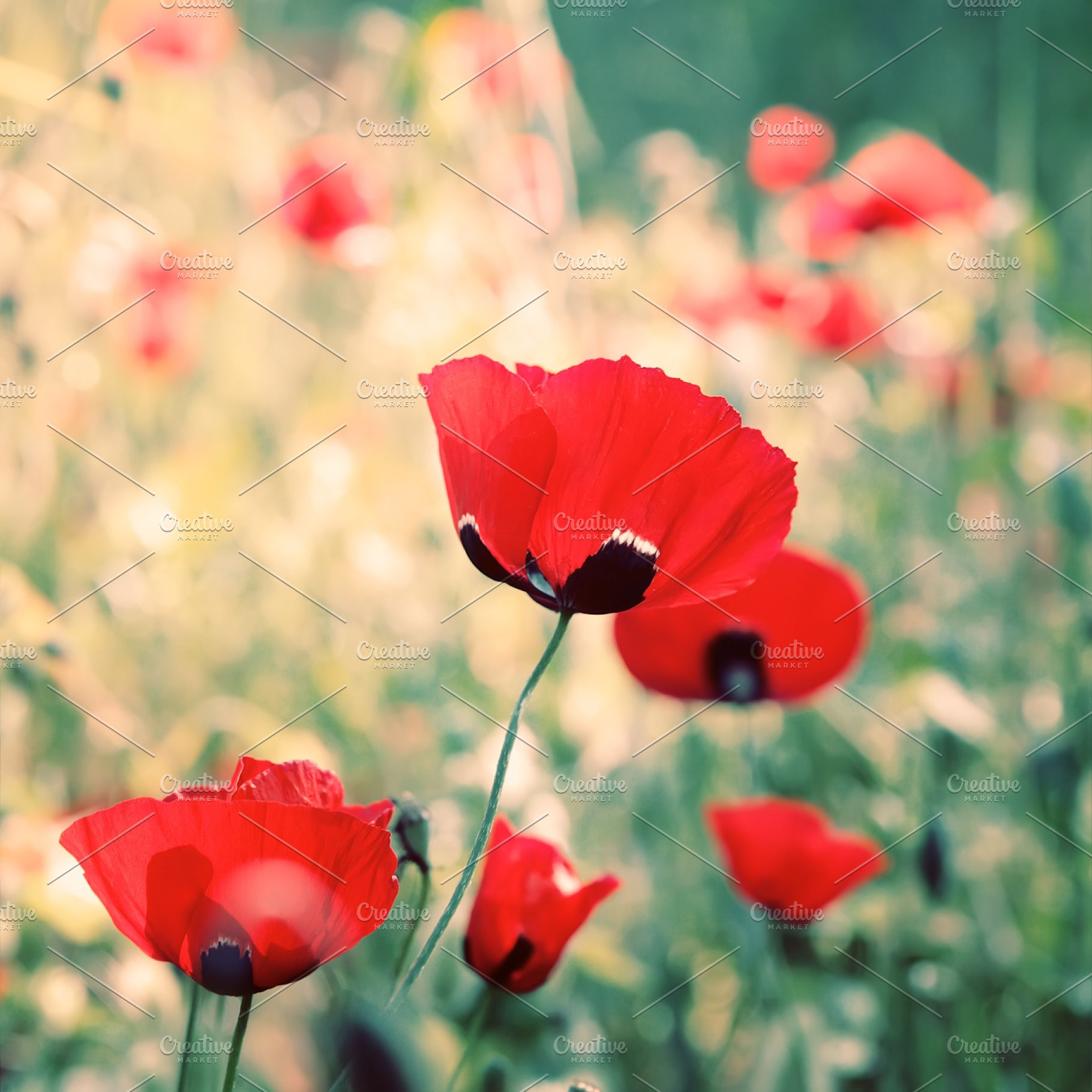 Poppies Flowers High Quality Nature Stock Photos Creative Market