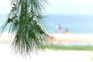Pine tree in focus, blurred beach ba