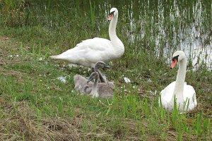 Newborn swans