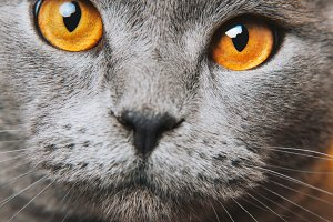 Grey grey Cat yellow eyes macro
