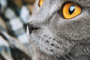 British shorthair cat looking profil