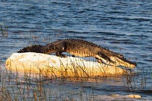 Crocodile in the Everglades