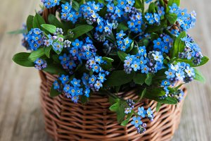 Forget-me-not flowers in basket