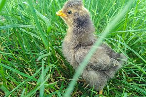 Week old gray chicken on the lawn