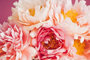 Close up of pink peony on pink