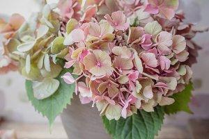 Pale pink Hydrangea