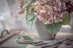 Hydrangea in clay pot