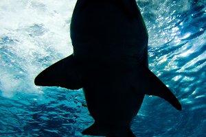 Shark silhouette. Danger concept