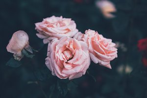 Pink roses dramatic toning