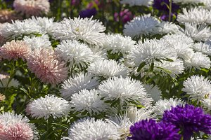 Flowering asters.