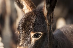 brown donkey with big ears