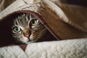 Tabby cat hiding under a blanket