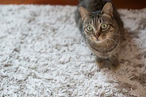 Tabby cat on a carpet