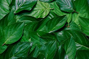 Texture of green leaves.